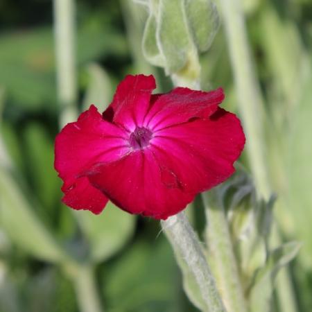 lychnis rose seeds