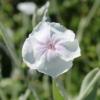 white angels blush lychnis coronaria