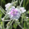 lychnis coronaria angels blush seeds