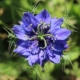 nigella damascena dark blue seeds