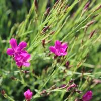 dainthus low growing grass like foliage