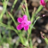 dianthhus pinks seeds