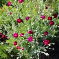 rose campion lychnis seeds