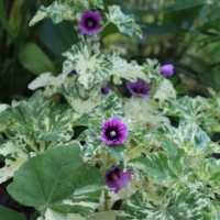 mallow variegated seeds