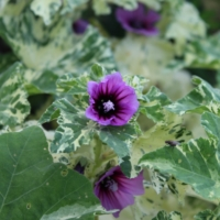 variegated mallow flowers