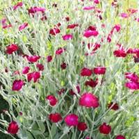 rose red campion seeds