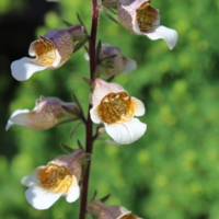 digitalis latana cafe cream foxglove seeds