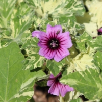 variegated mallow plant seeds