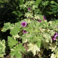 mallow seeds variegated