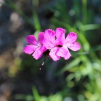 dianthus clusterhead pink seeds