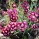 dianthus spangled star seeds