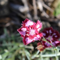 dianthus pink with white blotches seeds