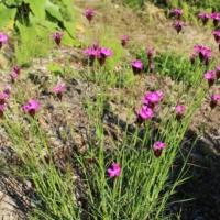 clusterhead dianthus plant seeds