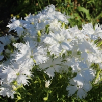 dianthus superbus white seeds
