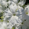 dianthus spooky seeds