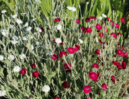 rose campion seed mix