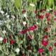 rose campion seed mix