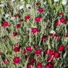 buy rose campion seed mix