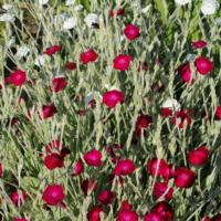 buy rose campion seed mix