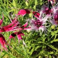 fringed pink dianthus seeds