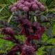 angelica stricta purpurea seeds