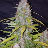 california snow autoflower seeds
