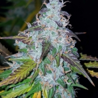 auto seeds californian snow