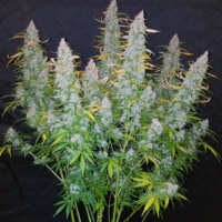 fast buds cali snow ruderalis seeds