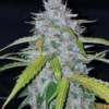 fast buds american autoflowers six shooter cannabis mmj