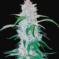 six shooter autoflower seeds