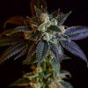 Black Octane cannabis seeds