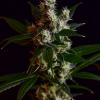 Golden Pineapple x Illusion OG mmj seeds