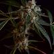Kosher Kush x LA Affie cannabis seeds