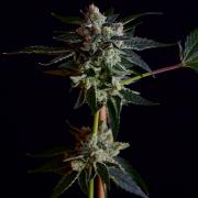 Platinum GSC x Illusion OG marijuana seeds