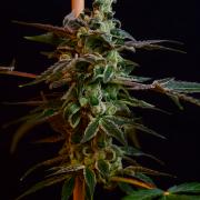 Sour Best Shit Ever x OG LA Affie 78 cannabis seeds