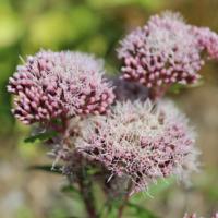 hemp agrimony flowers