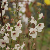 white form moth mullein