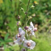 moth mullein seeds