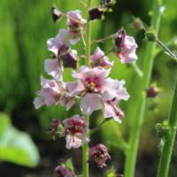 verbascum atropurpurea seeds