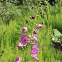 mullein violetta seeds