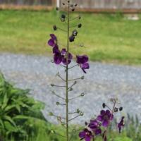 purple verbascum seeds