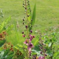 verbascum phoenicum seeds