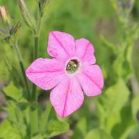 nicotiana x sanderae bright rose seeds