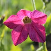 bright rose nicotiana x sanderae seeds