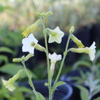 starlight dancer tobacco seeds