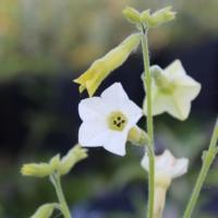 nicotiana hybrid seeds starlight dancer