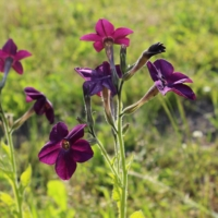perfume deep purple tobacco seeds
