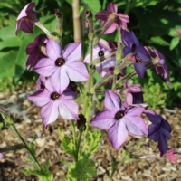 perfume blue nicotiana hybrid seeds