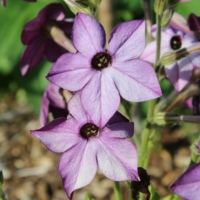 nicotiana x sanderae perfume deep blue seeds