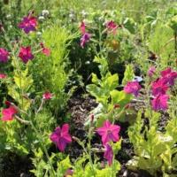 tobacco bright rose perfume seeds